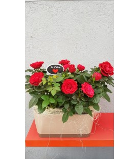 Rosiers rouges